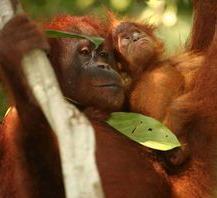 Orang-Utans: 138 Tiere wurden wiederangesiedelt (Foto: ZGF, Peter Pratje)