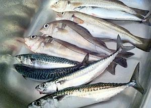 Schellfisch, Makrele: Erholung dringend nötig (Foto: Flickr/Podknox)