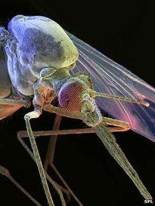 Malaria: Moskitos werden immun gegen Parasiten (Foto: SPL)