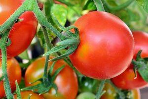 Tomaten: effektiver Schutz vor Prostatakrebs (Foto: pixelio.de, A. Hermsdorf)