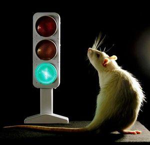 Ratten mit Querschnittslhmung knnen wieder laufen