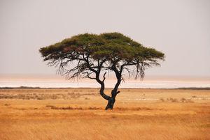 Kameldornbaum: noch mehr Dürren (Foto: pixelio.de, Hans-Jürgen Spengemann)