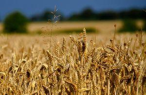 Eiweißmangel: Nährwert von Weizen sinkt (Foto: flickr.com/Jon Bunting)