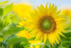 Sonnenblume: Natur macht glücklich (Foto: pixelio.de, Radka Schöne)