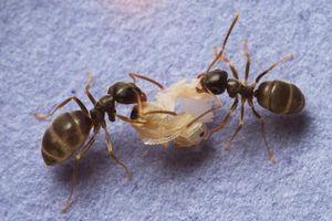 ameisen bringen infizierte koloniemitglieder um. Black Bedroom Furniture Sets. Home Design Ideas