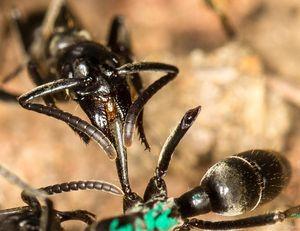 Matabele-Ameise versorgt die Wunden einer Artgenossin (Foto: Erik T. Frank)