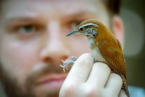 Zaunfink: Überleben von Temperatur abhängig (Foto: uwindsor.ca, Dale Morris)