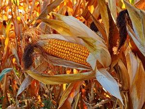 Maisfeld vor Ernte: Ernten werden schwanken (Foto: Uschi Dreiucker, pixelio.de)