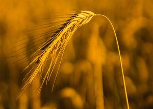 Getreide: 2018 schlechte Ernte in Niedersachsen (Foto: Oliver Mohr, pixelio.de)