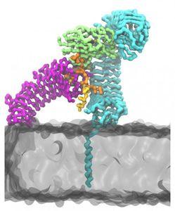 SC-Form: So kämpfen Peptide gegen Giftstoffe (Grafik: lu.se)
