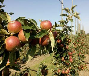 Äpfel: Diese blühen in Gesellschaft richtig auf (Foto: Ulrika Samnegård)