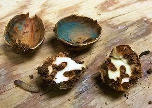 Eicheln mit Pilzbefall und Fraßschäden durch Rüsselkäferlarven (Foto: I. Franić)