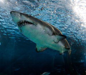 Weißer Hai: stirbt im Mittelmeer fast aus (Foto: unsplash.com, Marcelo Cidrack)