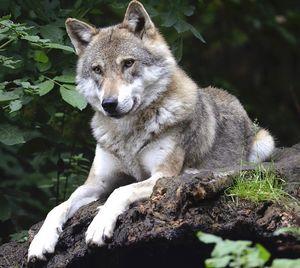 Wolf: YouTube verbessert sein Image (Foto: pixabay.com, Wildfaces)