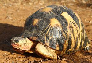 Madagaskar-Strahlenschildkröte von Ausrottung bedroht (Foto: Craig Stanford)