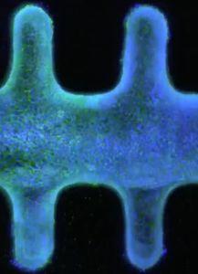 Organoid: künstliche Darmzellen fast wie das Original (Bild: epfl.ch)