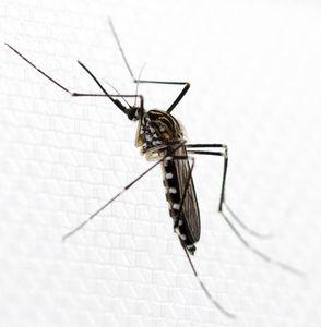 Asiatische Mücke Aedes koreicus: diese lebt nun in Belgien (Foto: Dorian Dörge)